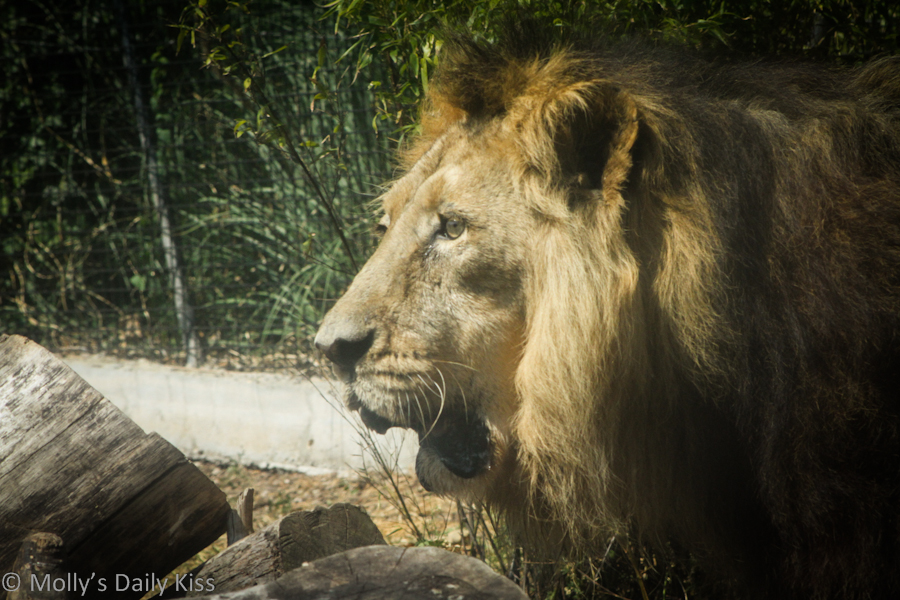 Lion at Chessington World of Adventures