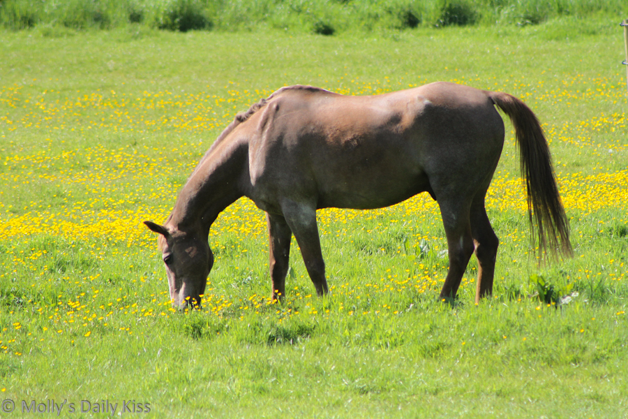 Brown horse in field of buttercups