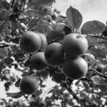 Apples on the apple tree