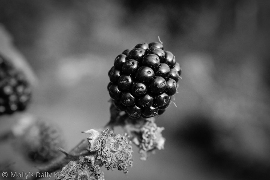 Blackberry in black and white