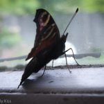 Butterfly on the window sill