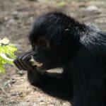 Monkey eating celery