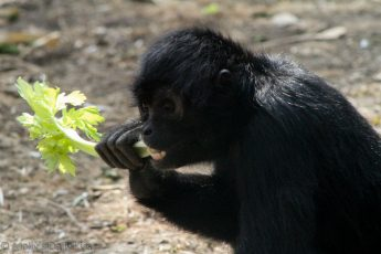 Monkey eating celery