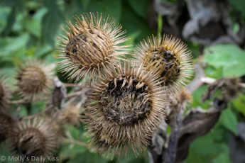 Spikey seed head full of seeds