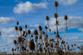 Thistles in a filed against brilliant blue sky