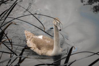 Cygnet swan