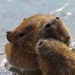 Water rats kissing