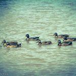 Family of ducks on pond