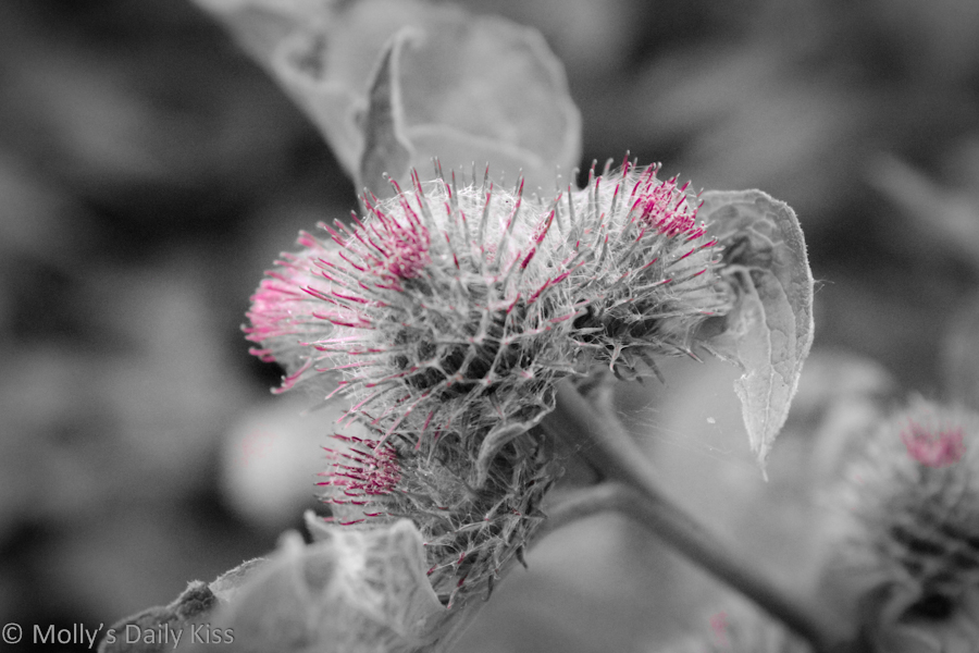 Thistle buds with pink tinge