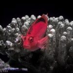 Red fish in the coral