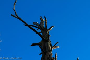 Dead tree against a bright blue sky