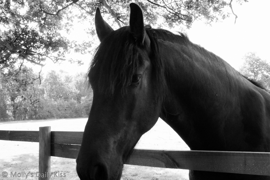horse looking over fence in black and white