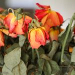 Wilting roses in a vase