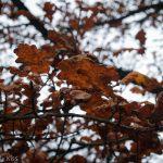 Brown leaves on winter tree