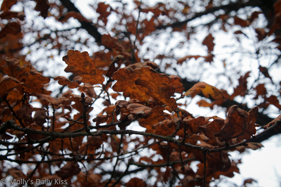 Brown leaves on winter tree