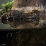 Reflection of baby crocodile