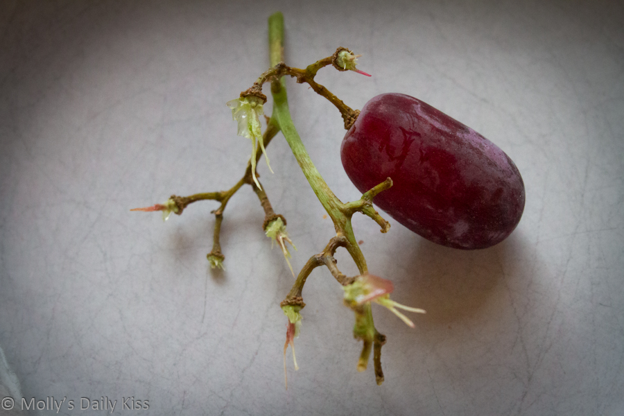 Single grape on stem