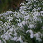 Field of snowdrops
