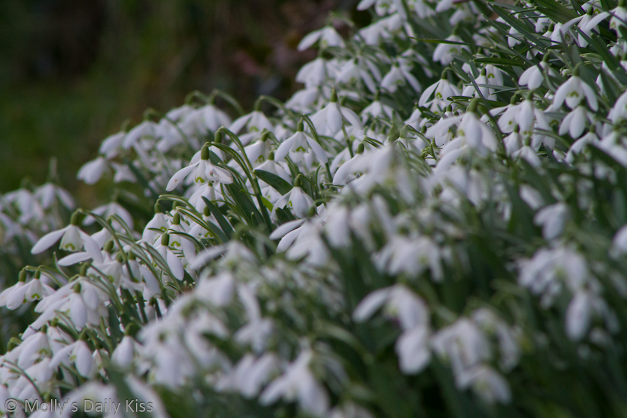 Day 70 – Snowdrop Flowers