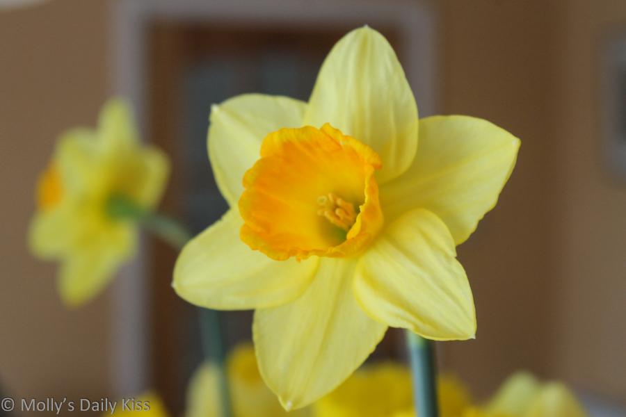 Daffodill reflected in mirror