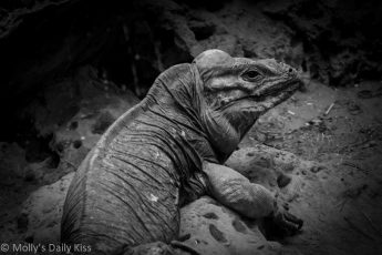 Black and White of Komodo Dragon