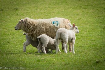 3 lambs with their mother