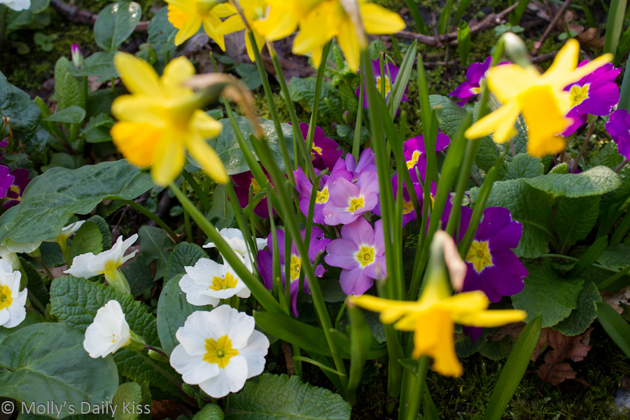 Spring flowers coloured primrose and mini daffodils