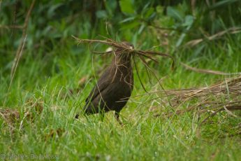 Blackbird with nest building material in its beck