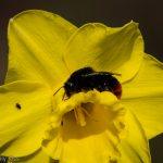 Bee sitting on a daffodil
