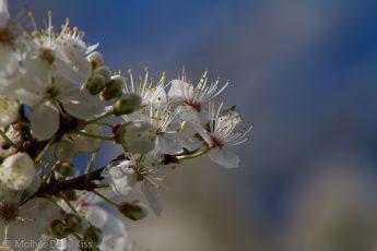 Blossom against blue sku