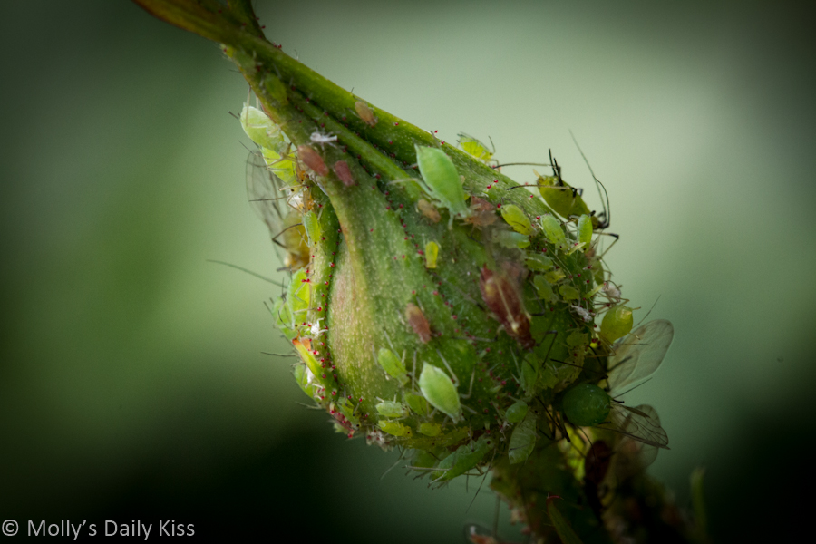 Macro shot of green fly on rose bud