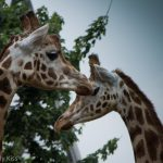 Two Giraffes in London zoo