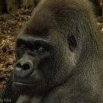 Gorilla face looking firectly at camera