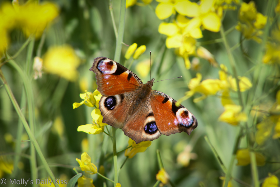 Butterfly in field of yellow flowers