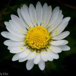 Macro shot of lawn daisy