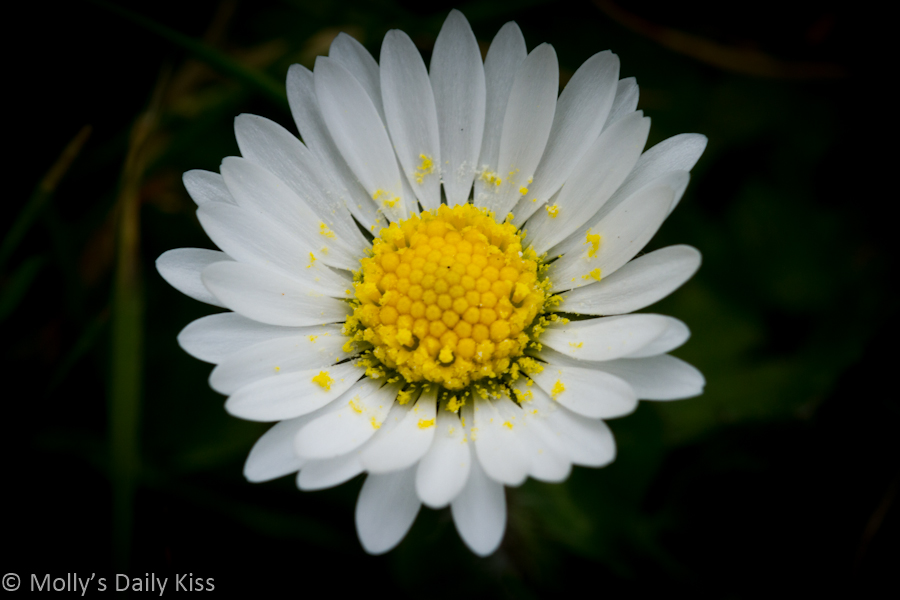 Macro shot of lawn daisy