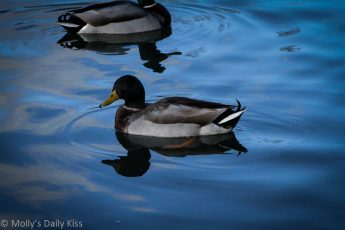 reflection of a duck in blue water