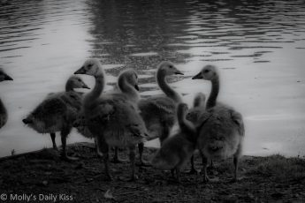 Huddle of baby geese in black and white