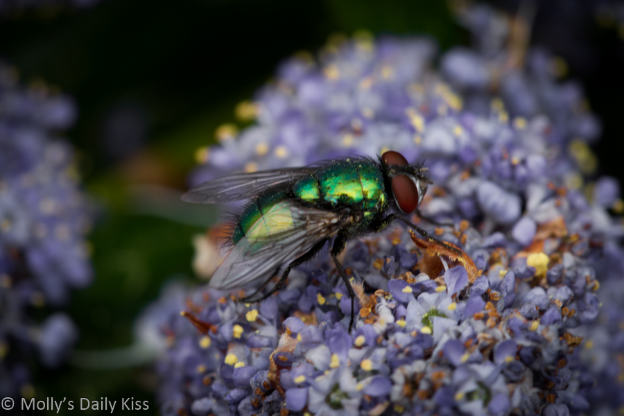 macro shot of a bluebottle fly