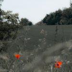 poppy flowers in summer field