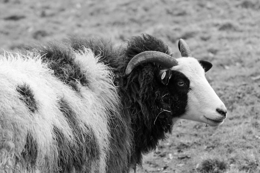 Black and white image of a rough coated sheep