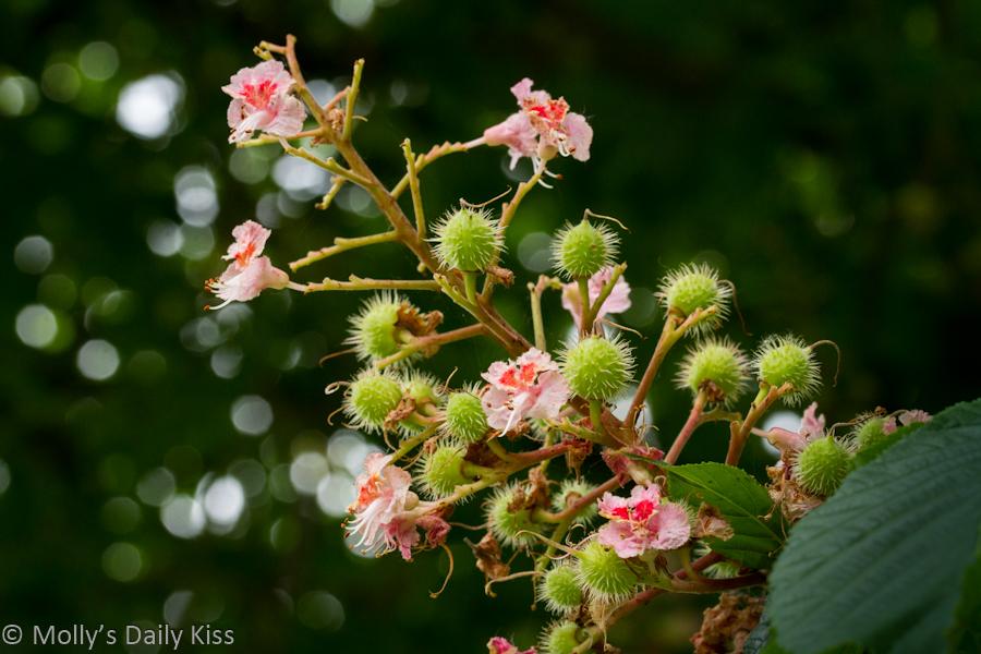Chenut blossom