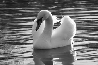 Black and white of a swan