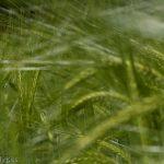macro shot through wheat field