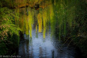 Willow tree reflected in river