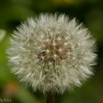 macro shot of dandilion head
