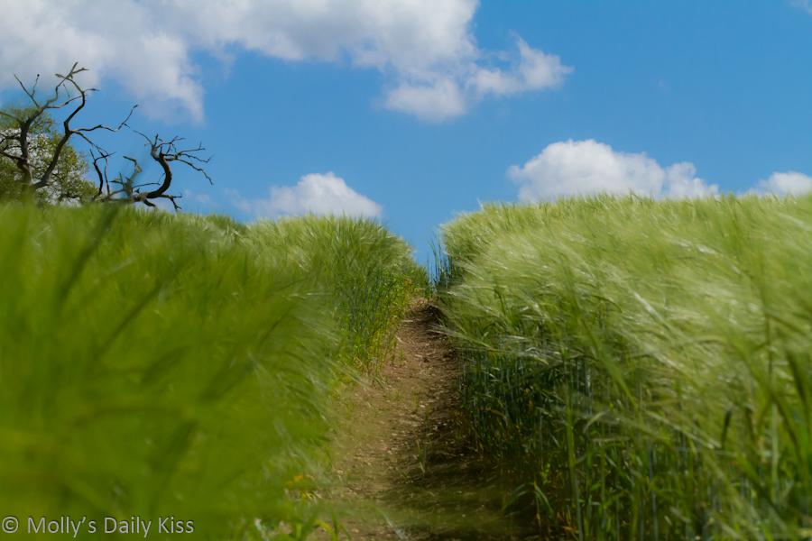 Walking through fields of wheat