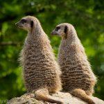 Meercat friends in London zoo