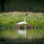 Swan on its nest