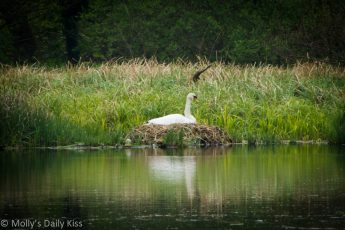 Swan on its nest
